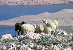 Pag capre